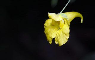 Tribulus Terretris bývá nazývaná jako mužská bylina